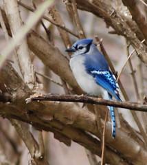 sparrow(0.0), finch(0.0), chickadee(0.0), brambling(0.0), animal(1.0), branch(1.0), fauna(1.0), bluebird(1.0), blue jay(1.0), beak(1.0), bird(1.0), wildlife(1.0),