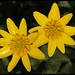 Lesser Celandine - Photo (c) Steve Chilton, some rights reserved (CC BY-NC-ND)