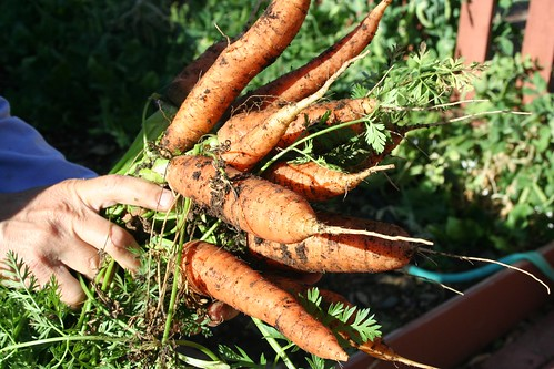 Bumper Crop of Carrots