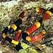 coral_snake
