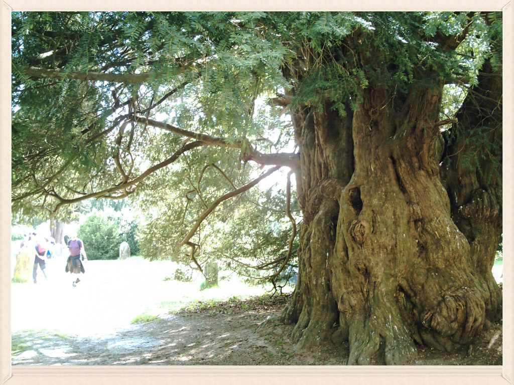 Balcombe round/circular 800 year old Yew at St Mary's Parish Church Slaugham; even older than some Ramblers. D.Allen Vivitar 5199 5mp