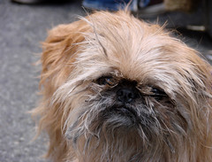 dog breed, animal, dog, pet, griffon bruxellois, lhasa apso, chinese imperial dog, shih tzu, carnivoran,