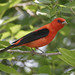 Scarlet tanager (male) by Jim Scarff