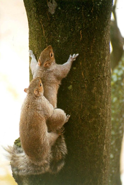 Squirrel Sex 32
