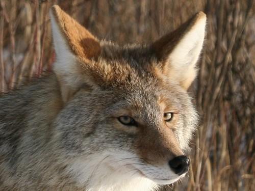 Coyote_Crop