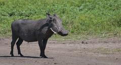 animal, mammal, fauna, warthog, pasture, wildlife,