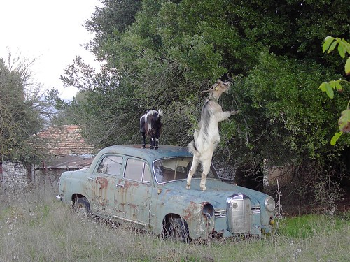 Feeding goat on old car