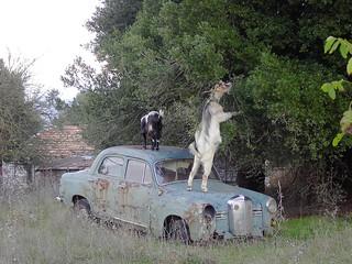 Feeding goat on old car