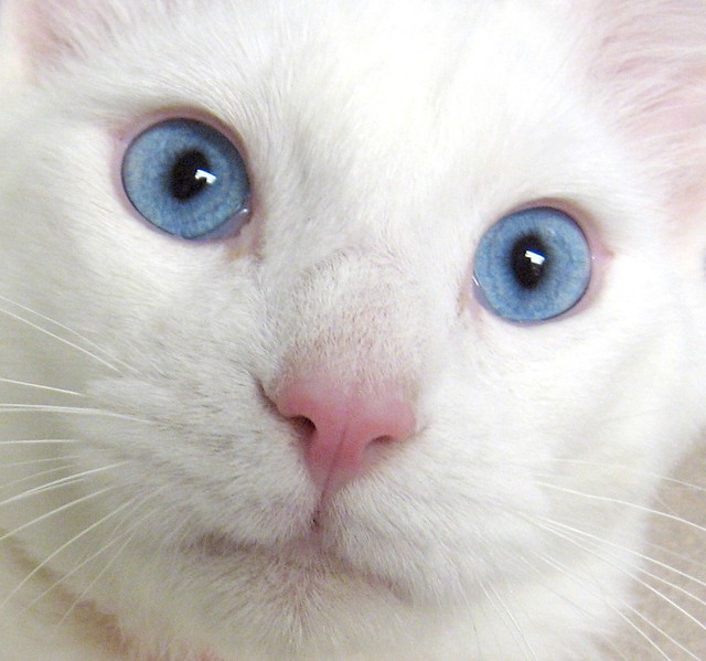 UPDATE: He is mine now! Unforgettable Little Blue-Eyed Boy Cat ~ I just adopted him ~ His name is now Cerulean