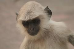 gibbon, animal, monkey, mammal, fauna, close-up, old world monkey, wildlife,