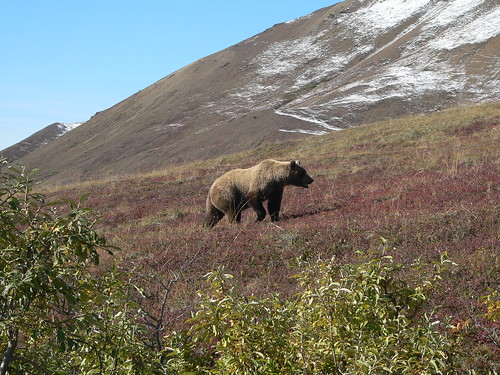 Grizzly Bear in stride, Denali