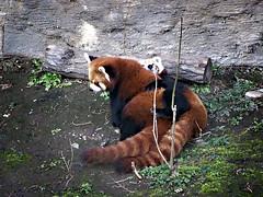 cougar(0.0), tiger(0.0), animal(1.0), red panda(1.0), mammal(1.0), fauna(1.0), wildlife(1.0),