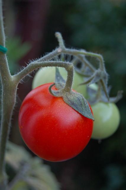 40 individual tomatoes weighing 1 kg