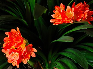 Clivia... still / nog steeds