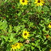 Dune sunflower - Photo (c) Bill Rogers, some rights reserved (CC BY-NC-ND)
