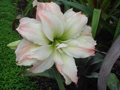 lily, flower, plant, hippeastrum,