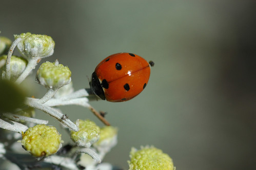 Flower or Ladybird