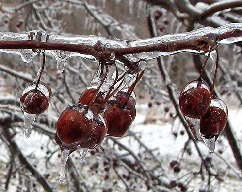 Crabapples on Ice