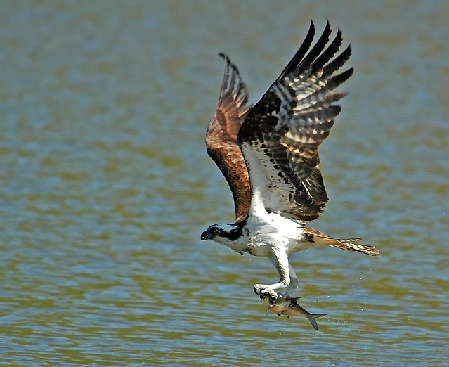 Osprey Clutching Dinner