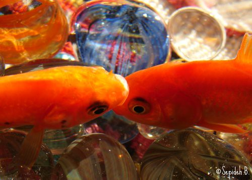 fish love hope march persian spring kiss peace goldfish culture newyear explore iranian tradition rebirth equinox 2007 prosperity newday vernalequinox springequinox norooz norouz قرمز sepideh celeberation 1386 ماهی impressedbeauty ماهیقرمز goldfishkiss ماهیگلی