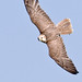 Saker Falcon in Flight