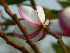 plumeria rubra carmen flickr   photo sharing