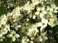 Hawthorne Blossom by Jenny Mackness