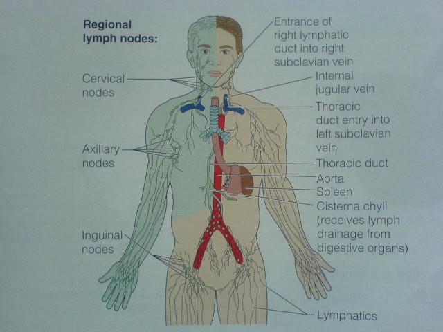 Diagram Of All Lymph Nodes