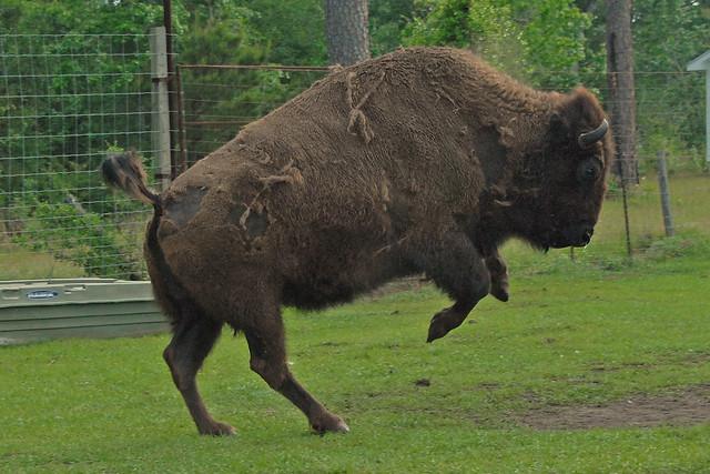 bucking buffalo bill flickr photo sharing