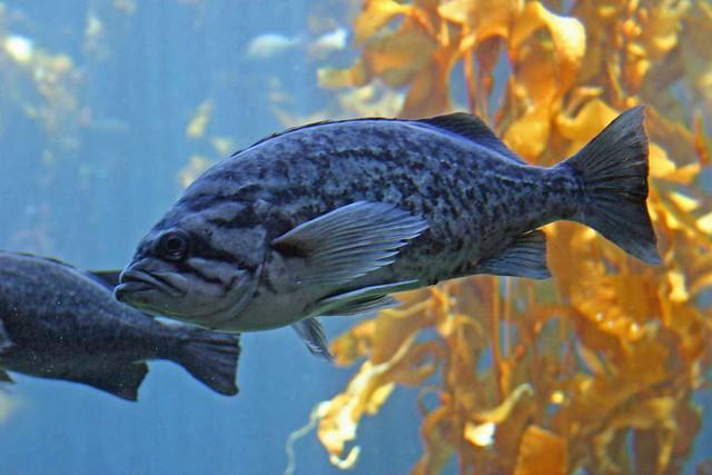 Black rock cod flickr photo sharing for Rock cod fish