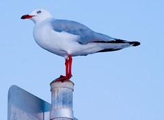 Sea Gull against night sky-01+