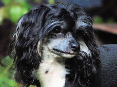 dog breed, animal, dog, russian spaniel, spaniel, carnivoran,