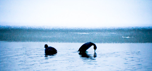 bird geotagged kentucky waterbird lakeside lexingtonky richmondroad waterfowl americancoot digitalcameraclub anawesomeshot jacobsonlake geo:lat=37991538 geo:lon=84431734
