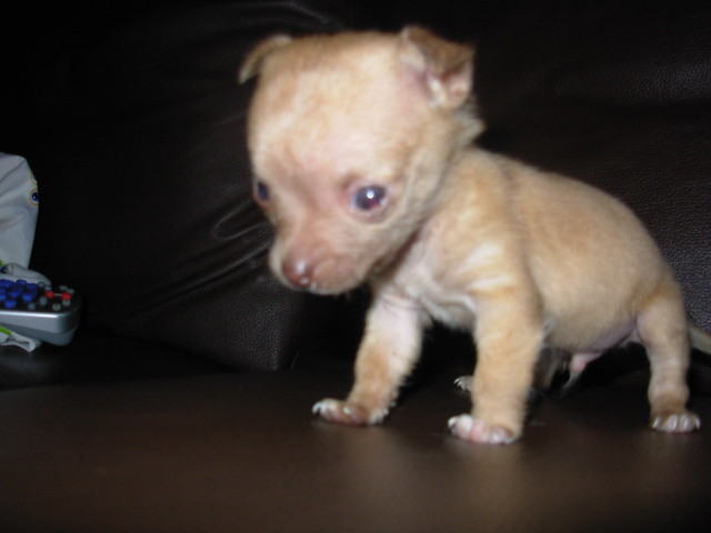 Smallest full grown dog in the world for sale