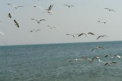SEA GULLS-KUWAIT.