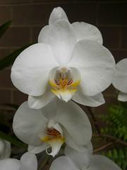 cattleya labiata(0.0), cattleya trianae(0.0), flower(1.0), plant(1.0), laelia(1.0), phalaenopsis equestris(1.0), moth orchid(1.0), petal(1.0),
