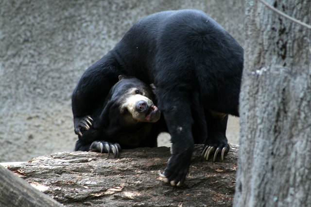 Fighting Sun Bears | Flickr - Photo Sharing!