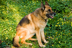 eurasier(0.0), norwegian elkhound(0.0), finnish spitz(0.0), tervuren(0.0), belgian shepherd malinois(0.0), saarloos wolfdog(0.0), shiloh shepherd dog(0.0), dog breed(1.0), german shepherd dog(1.0), animal(1.0), dog(1.0), czechoslovakian wolfdog(1.0), pet(1.0), mammal(1.0), old german shepherd dog(1.0), wolfdog(1.0), east-european shepherd(1.0),