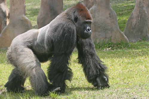 Silverback Gorilla vs. Polar Bear (Settle This) Mods ...