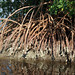 rhizophora mangle south side peace river punta gorda charlotte co fl 2