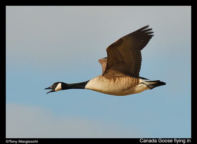 Canada Goose in flight.jpg