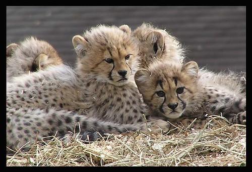 wild cheetah