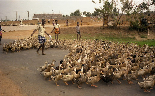 India - Ducks in Kerala