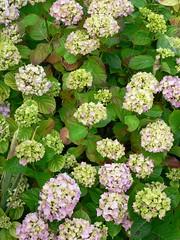 yarrow(0.0), annual plant(1.0), flower(1.0), hydrangea serrata(1.0), plant(1.0), hydrangeaceae(1.0),