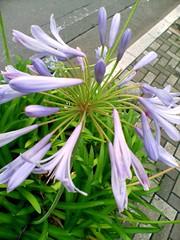lily(0.0), erythronium(0.0), nerine sarniensis(0.0), scilla(0.0), flower(1.0), hymenocallis littoralis(1.0), plant(1.0), india hyacinth(1.0), herb(1.0), wildflower(1.0), flora(1.0),