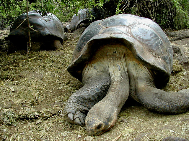 Turtle Land : Giant Land-turtles More photos from The Galapagos Islands.? By ...