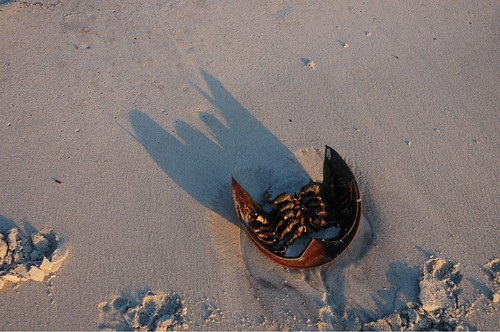 Horseshoe crab shell at sunset by Alida's Photos