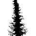Ornamental Pine [CAFE edit]