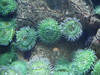 Green Anemones by cogurov