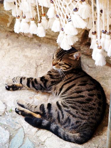 Sirince cat
